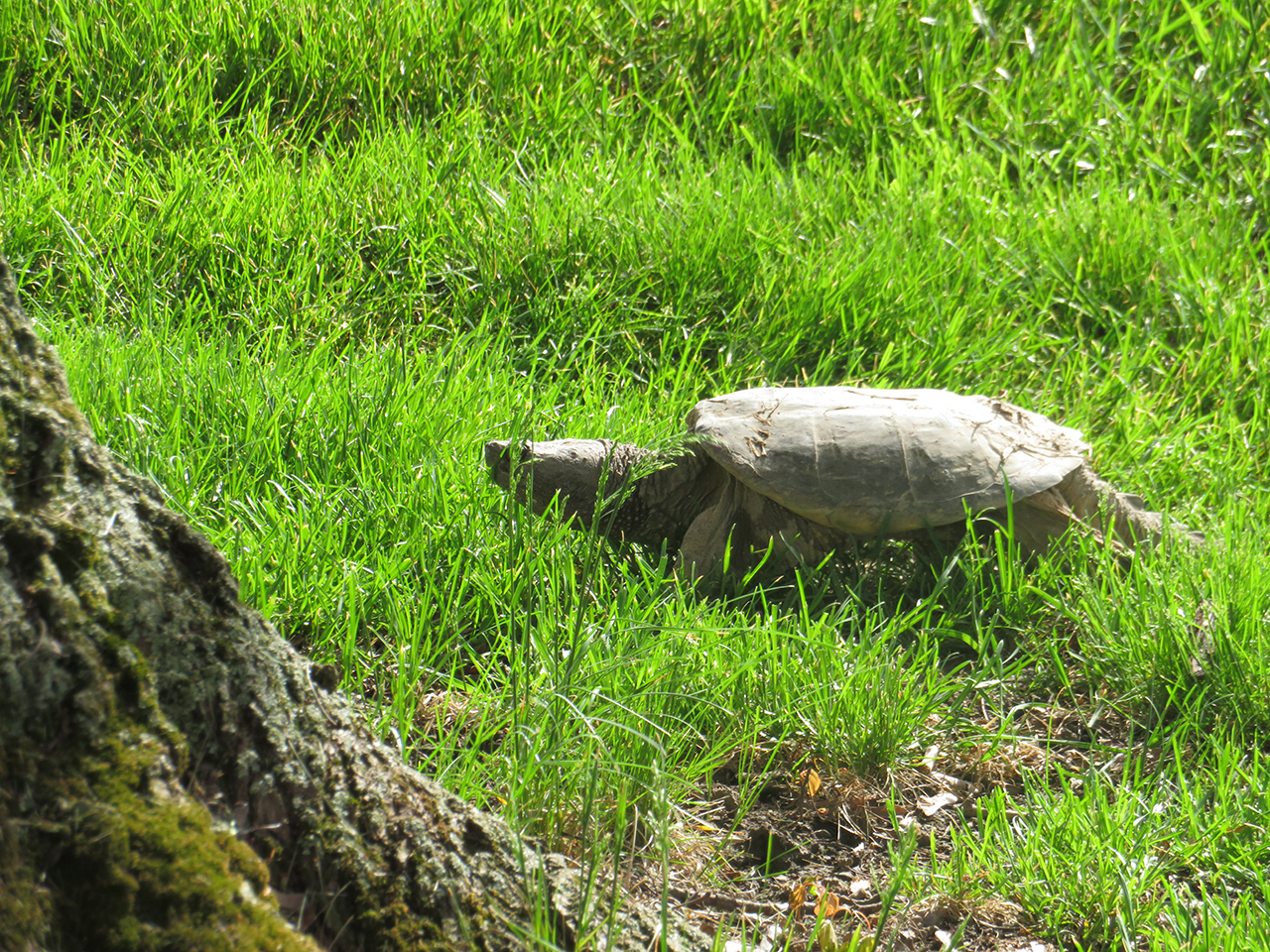 Old snapping turtle travels in Seneca County (photo)